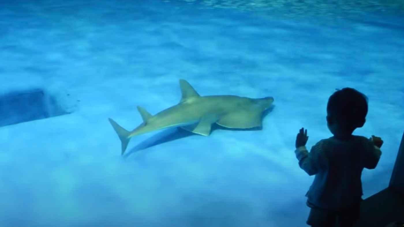 【鹿児島】20年間水族館で飼育されていた「サメとエイの間の子のような生物」が実は新種だったことが判明し話題に!