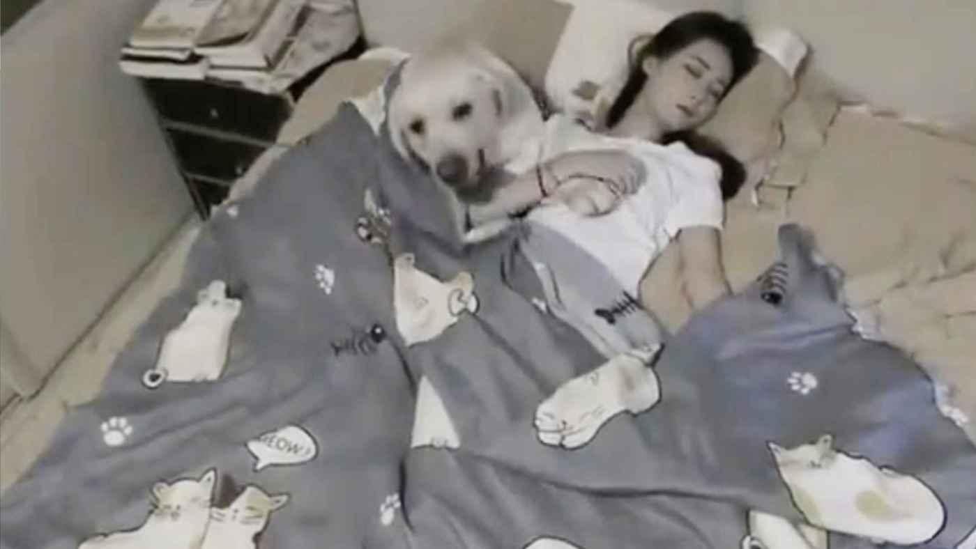 彼氏のように、寝ている女性を気遣うラブラドールレトリバーの行動が話題に!