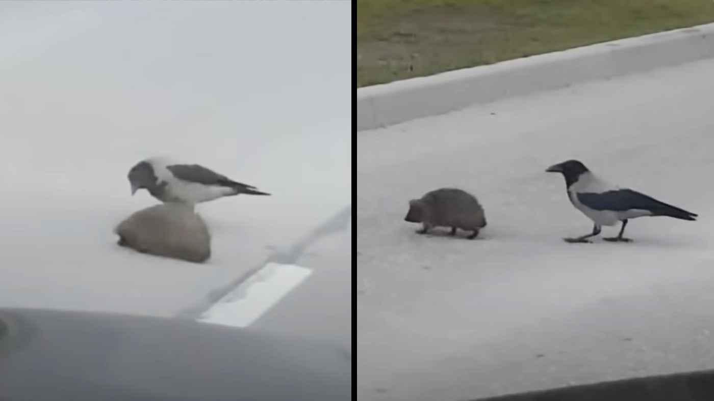 「ここは危ないよ。さあ歩いて!」路上にうずくまるハリネズミを助けてあげるカラスが話題に!