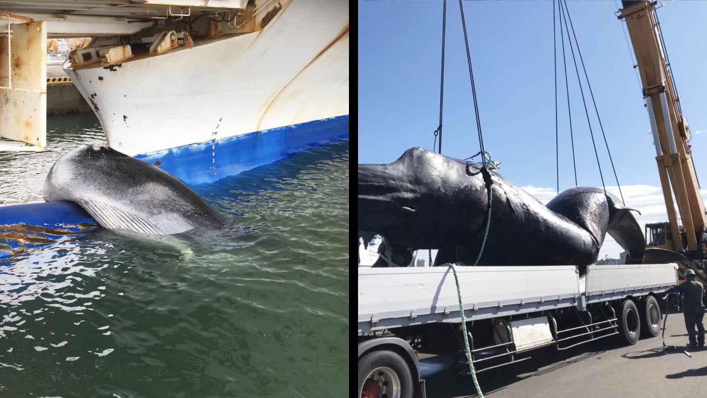 【仙台】「滅多にない出来事」フェリーの先頭に巨大なクジラが引っかかっていたと話題に!