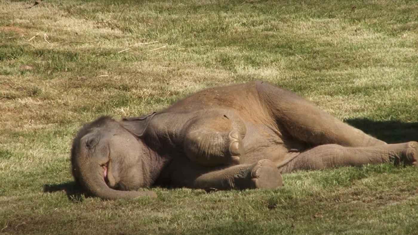 爆睡して起きないゾウの赤ちゃん。困り果てたお母さんゾウの行動が話題に!