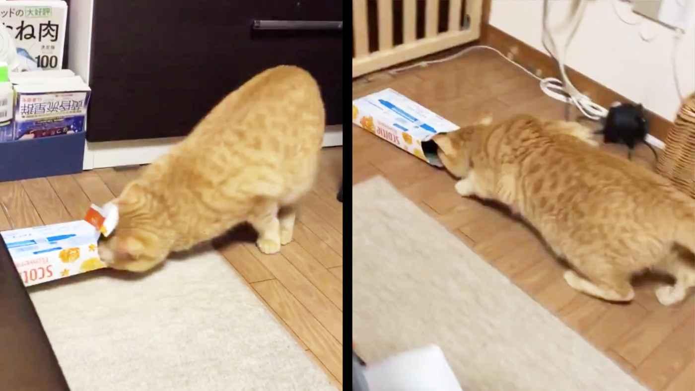 「多分世界一バカ」ティッシュ箱にどうしても入リたすぎておバカなことになってしまう猫が大人気に!