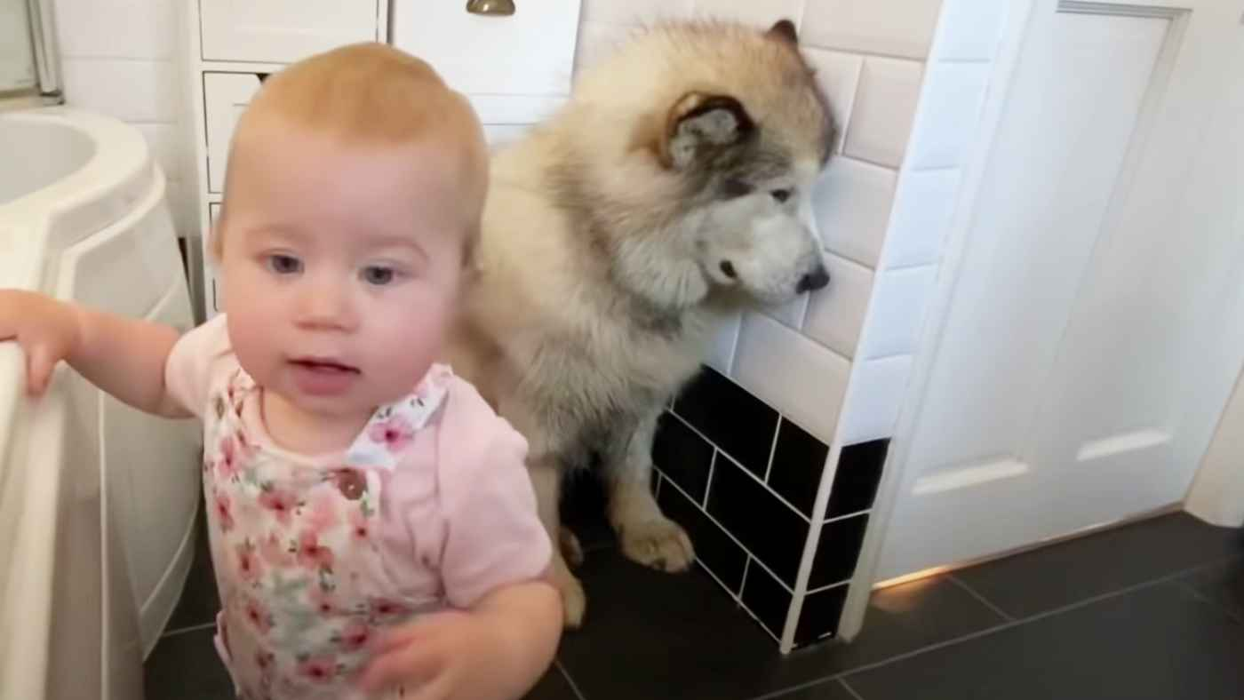 大きな体をして、どうしてもお風呂に入りたくないアラスカン・マラミュートが可愛すぎる笑!