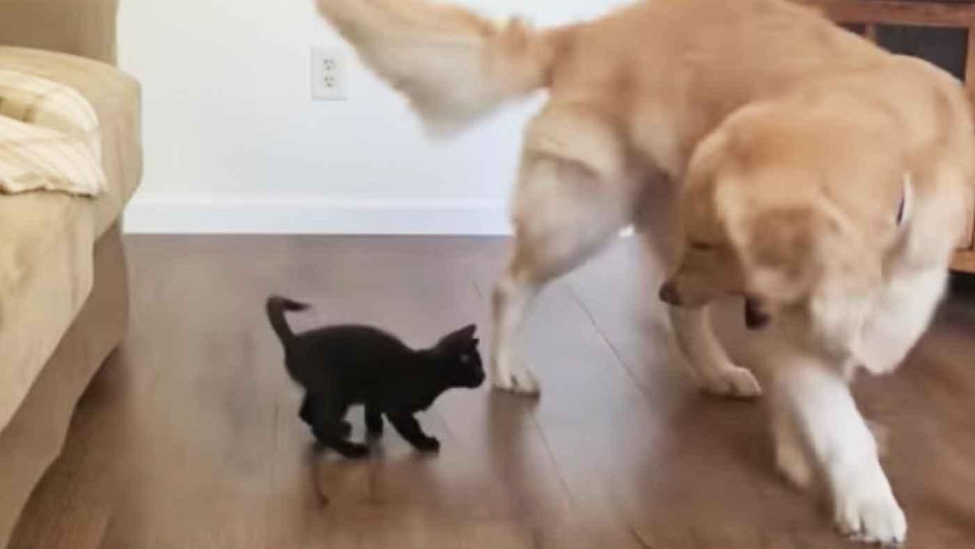 「君強いなぁ」子猫に負けたフリをして遊んであげるゴールデンレトリバーの優しさに惚れそう!