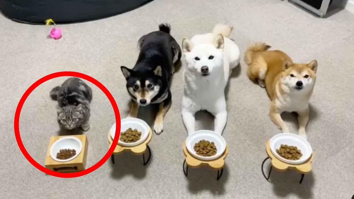 「待て」もできる、犬兄弟と暮らす猫が完全に自分のことを犬だと思っていると話題に!