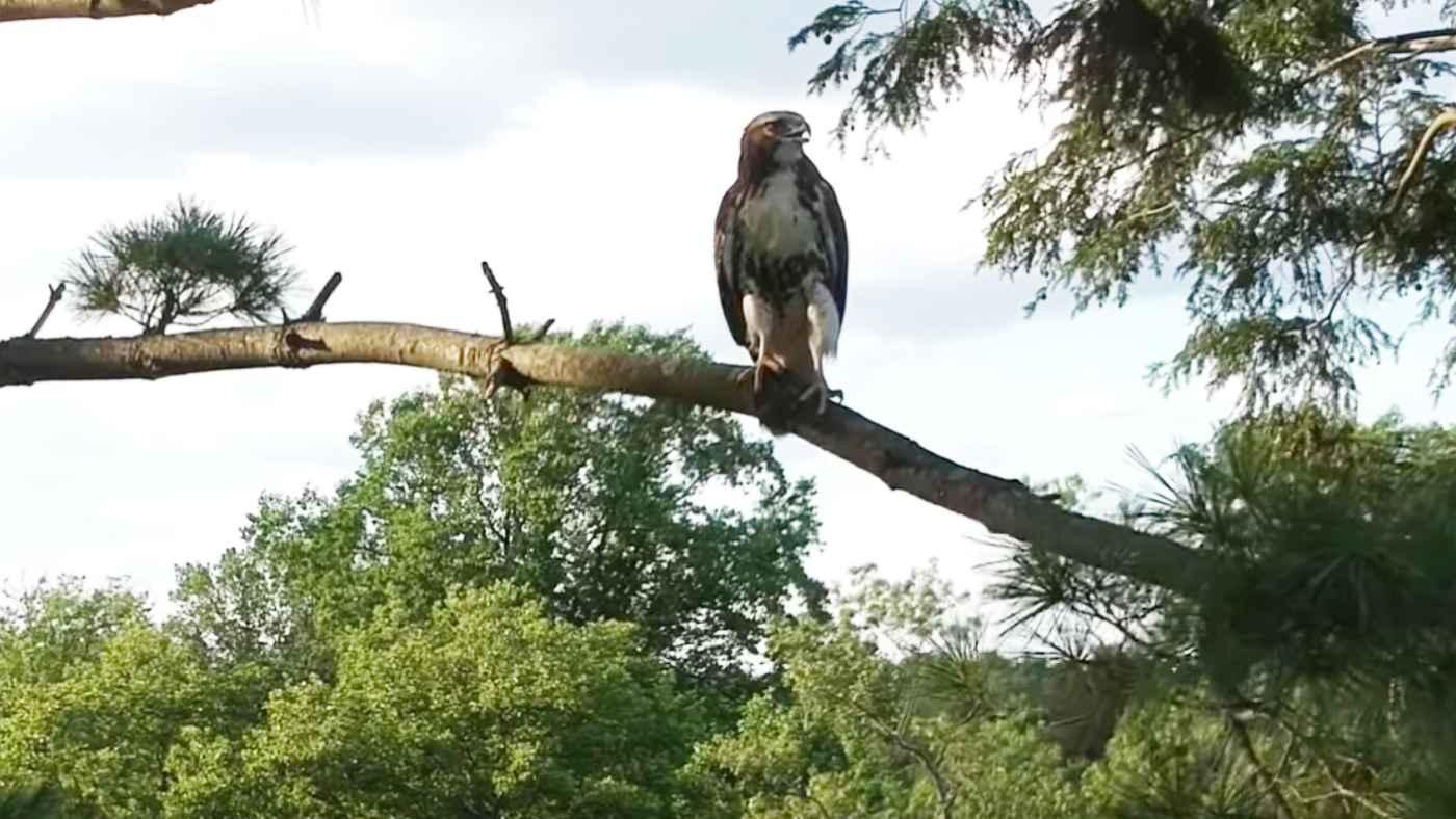 「鷹強すぎ!」アカオノスリをドローンで撮影していたら、一撃で落とされてしまう!