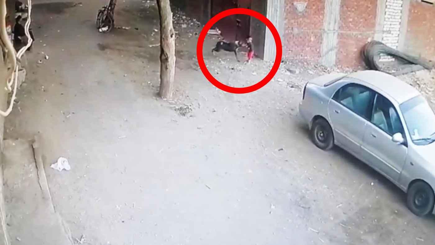 「ヒーロー猫だ!」野良犬に襲われた小さな子供をスーパーマンのように助ける猫が話題に!
