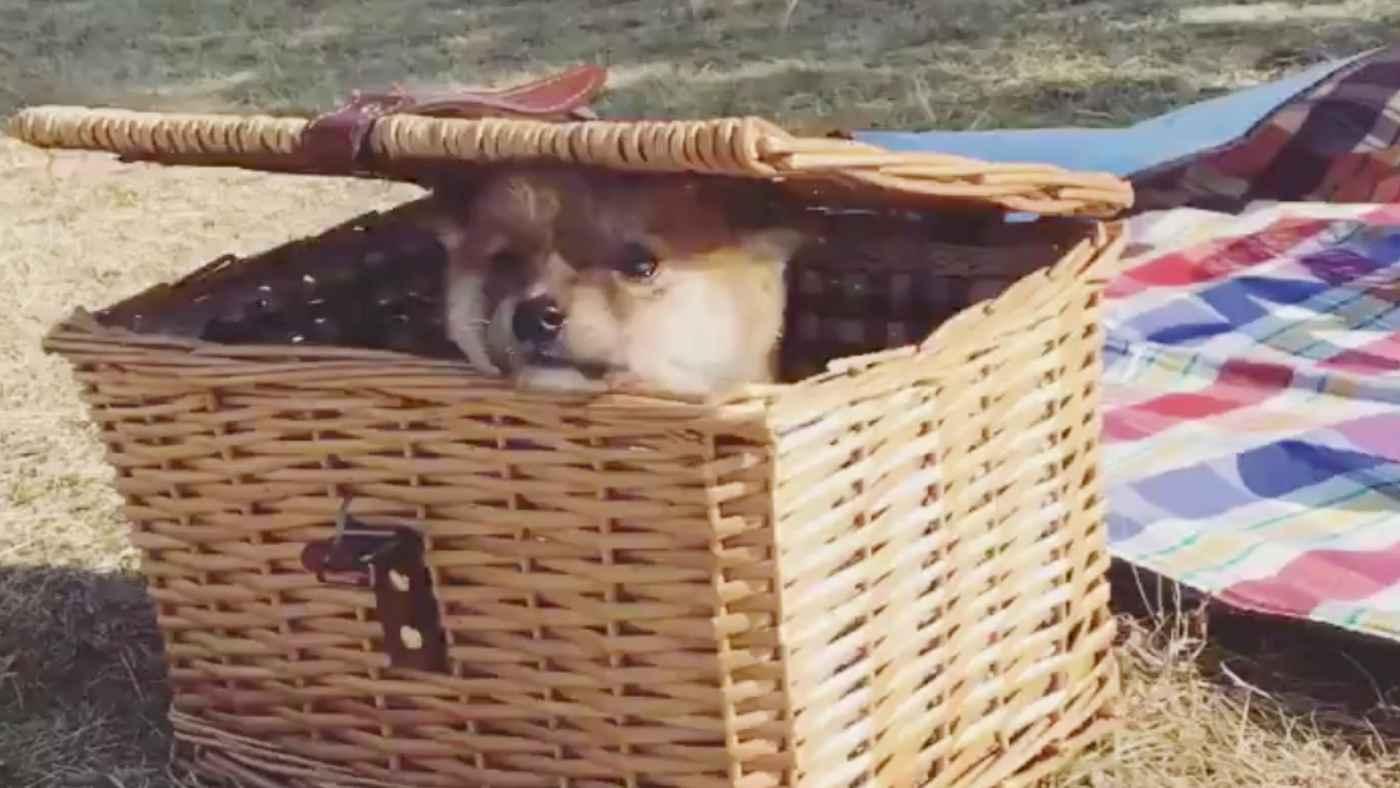 「うちの柴犬がはじめて外の世界をのぞいてみた時の動画です」生まれて初めて外を見た子犬の反応が可愛すぎる!