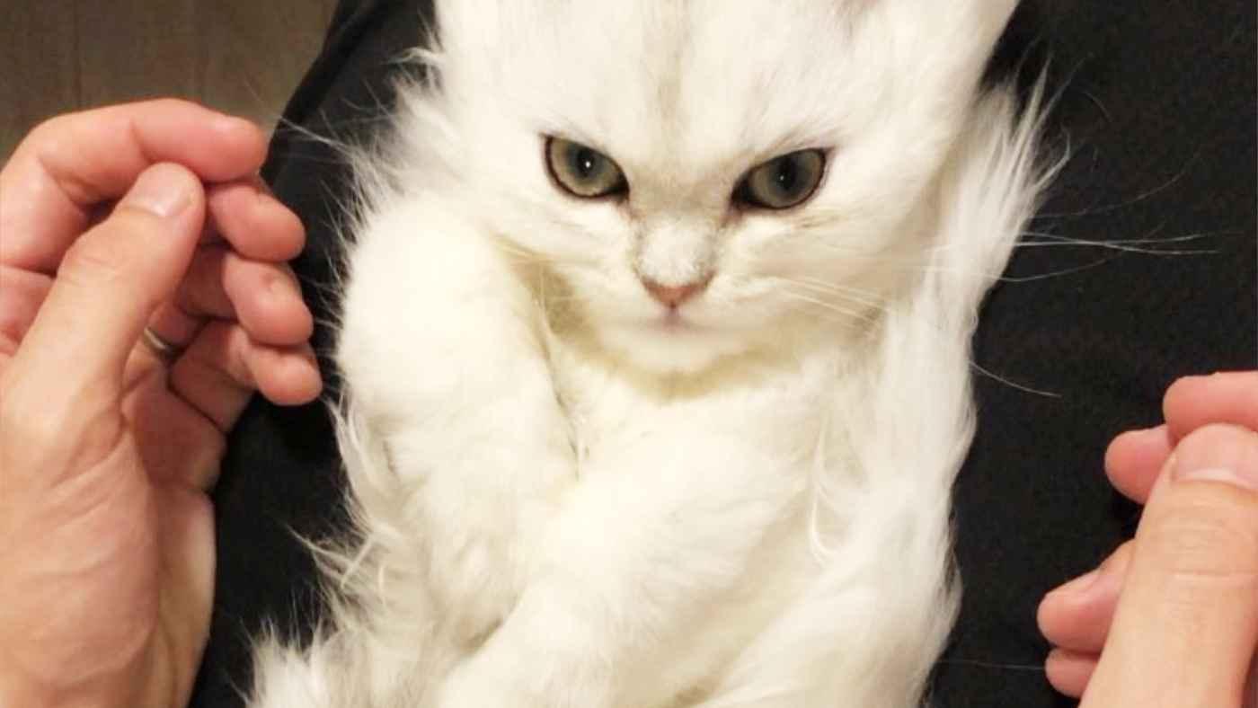 「スーパーサイヤ猫」がカッコ良すぎると話題に!