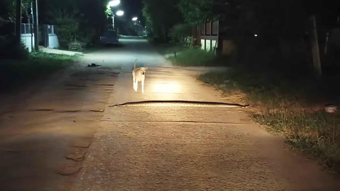 路上の巨大ヘビに全く気づかない犬が踏んづけてしまう動画が話題に!