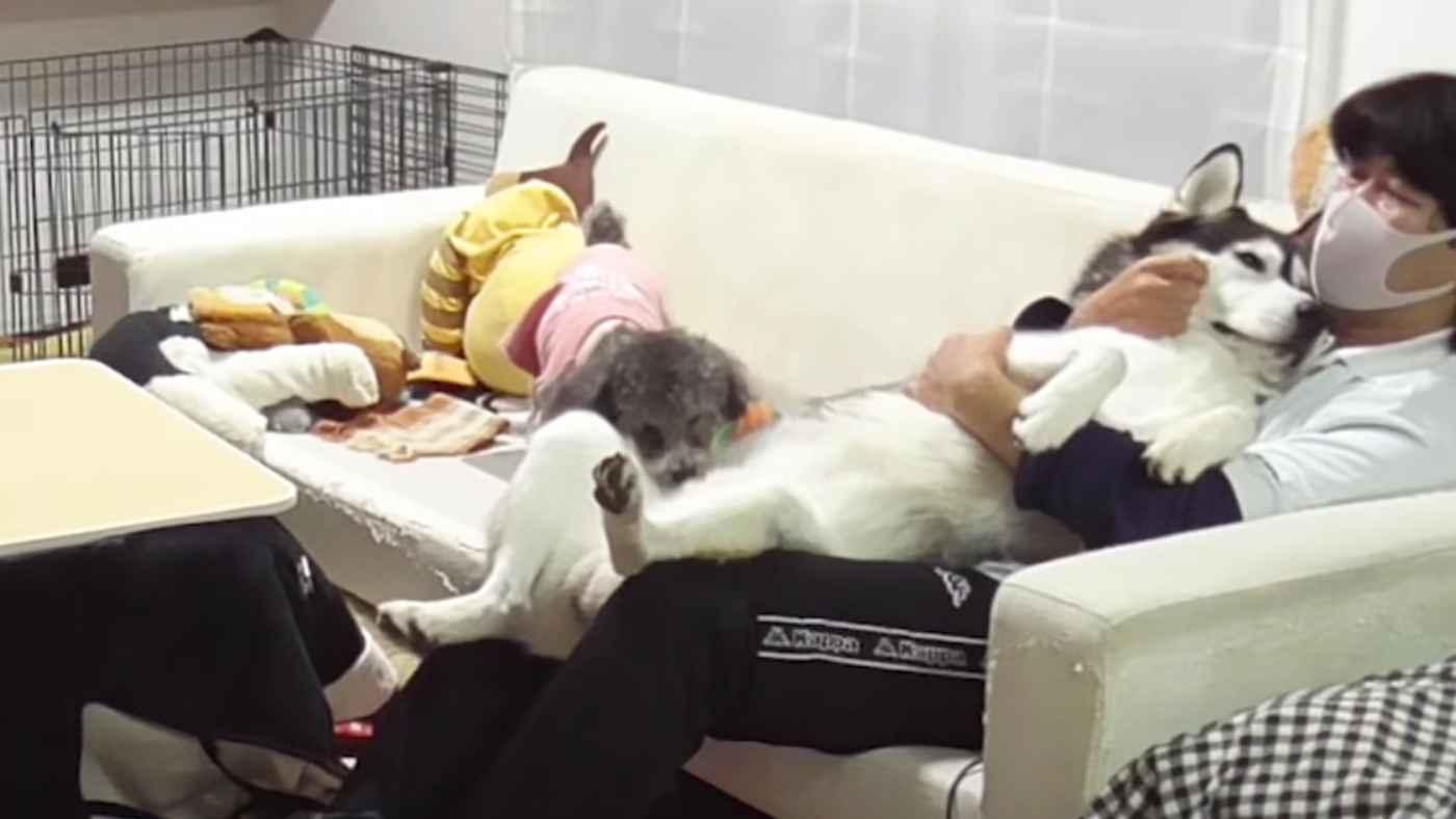 自分が大きいことに気づいていないハスキー犬が可愛すぎると話題に!