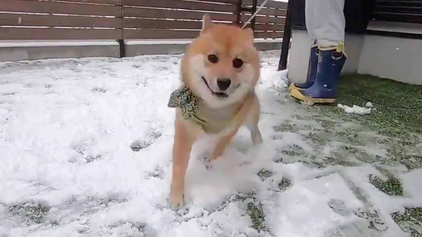 「早送りかと思った」生まれて初めての雪で、喜びが限界を超えてしまった柴犬が話題に!