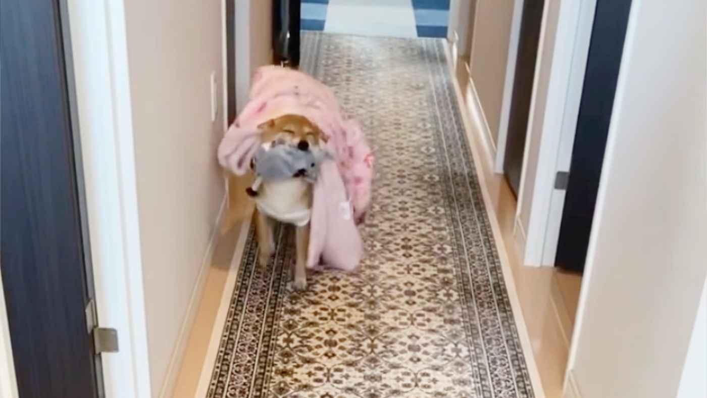 寝起きで布団をかぶったまま寝ぼけながらも、大好きなおじいちゃんの訪問に大興奮する柴犬が可愛すぎる!