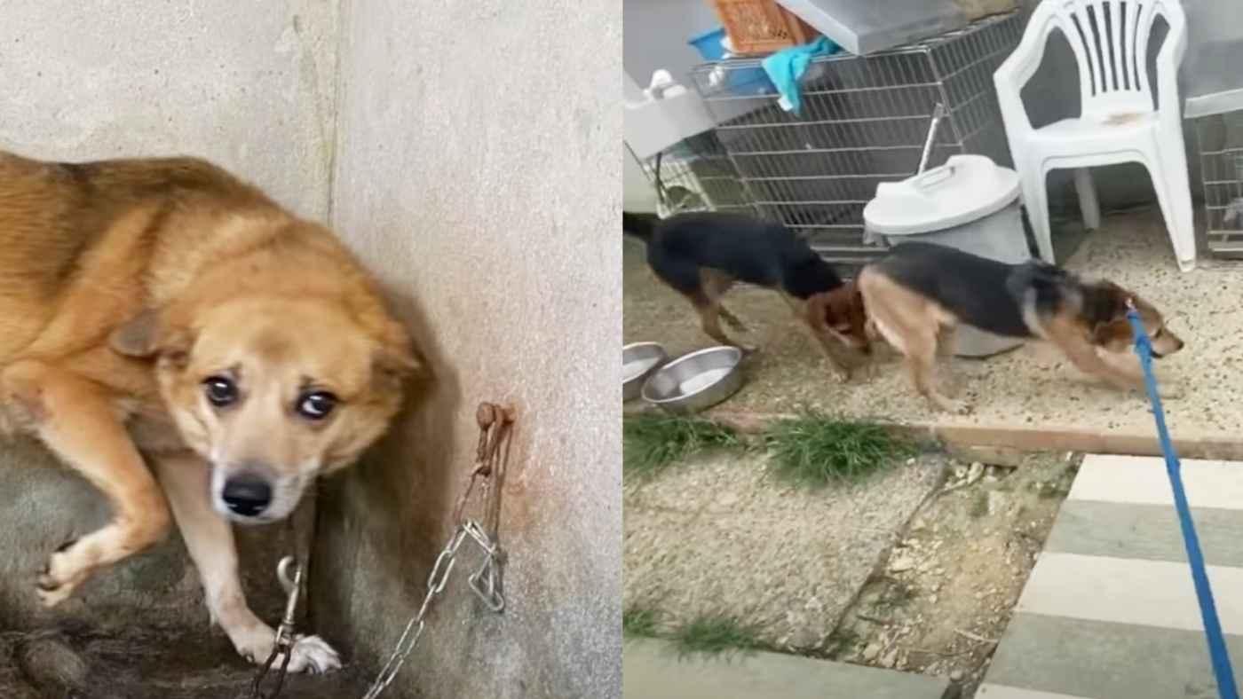 【沖縄】何年も1メートルしかない鎖に繋がれていた犬たちを保護。開放された犬の行動に胸が痛む
