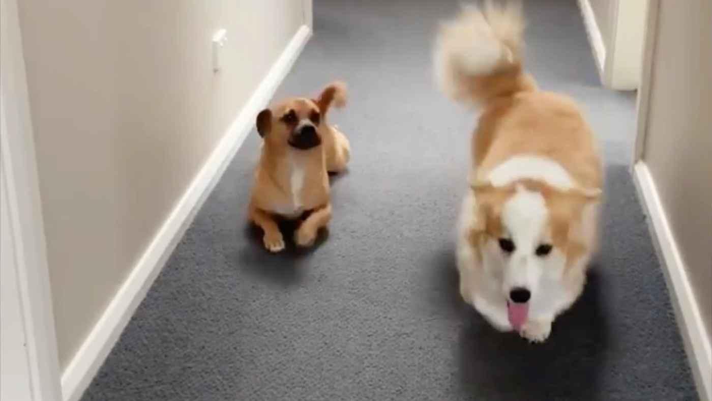 足の短いコーギーの歩き方を真似する犬が話題に!それを見たコーギーの反応に爆笑