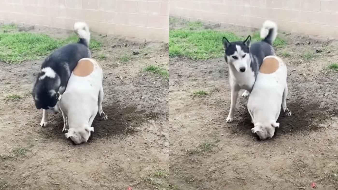 「おい、やばいって」友人の忠告に逆ギレしてまでイタズラする犬。飼い主さんに見られていることに気づいた時の反応がコントみたい!