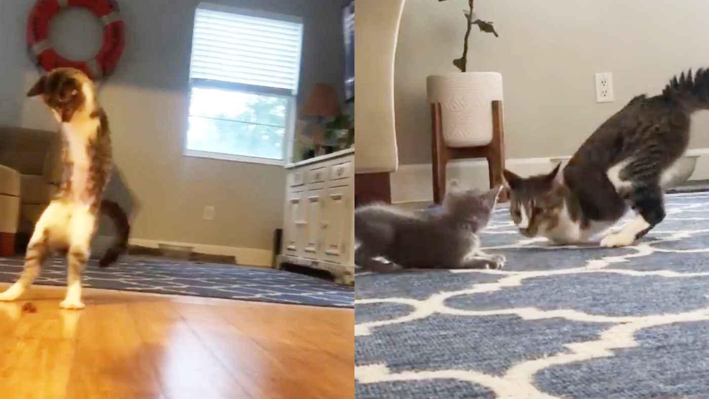 前足を失い「T-レックス」と呼ばれた猫の物語。苦境を乗り越え子猫をあやす姿に心打たれる!