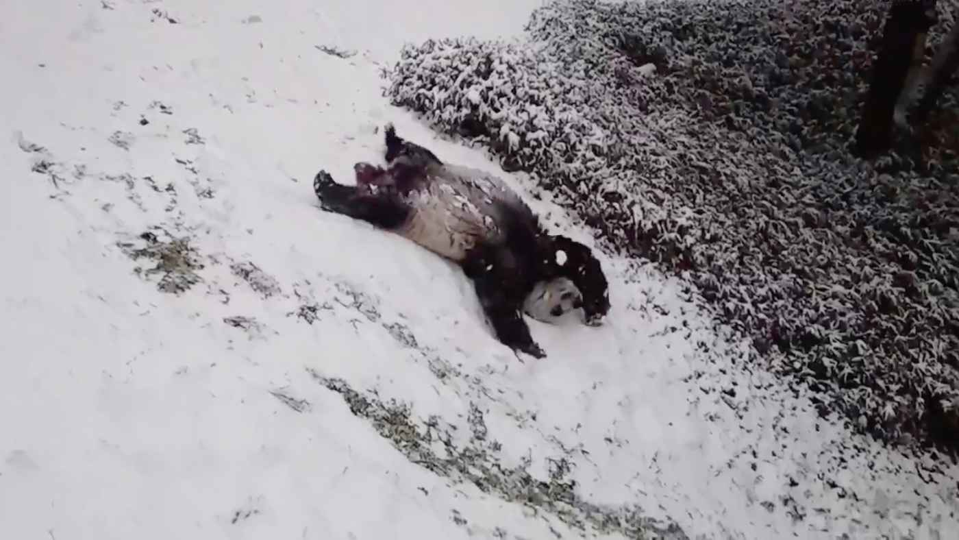 久しぶりの大雪でテンションMAXのアメリカのパンダが可愛すぎると世界中で話題に!