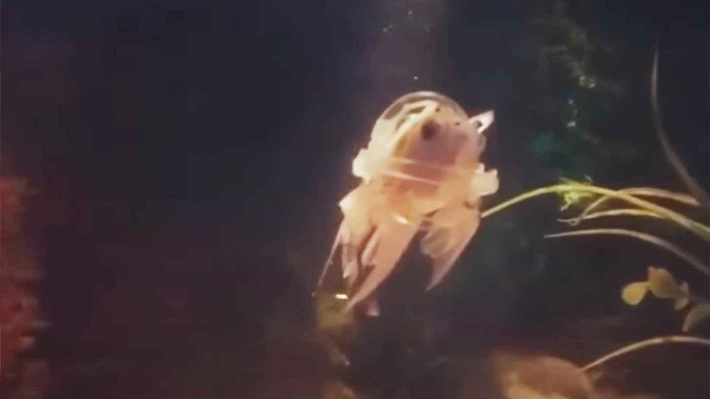 病気で逆さまにしか泳げなくなった金魚のために飼い主さんが作ってあげた「救命胴衣」に愛しか感じない!
