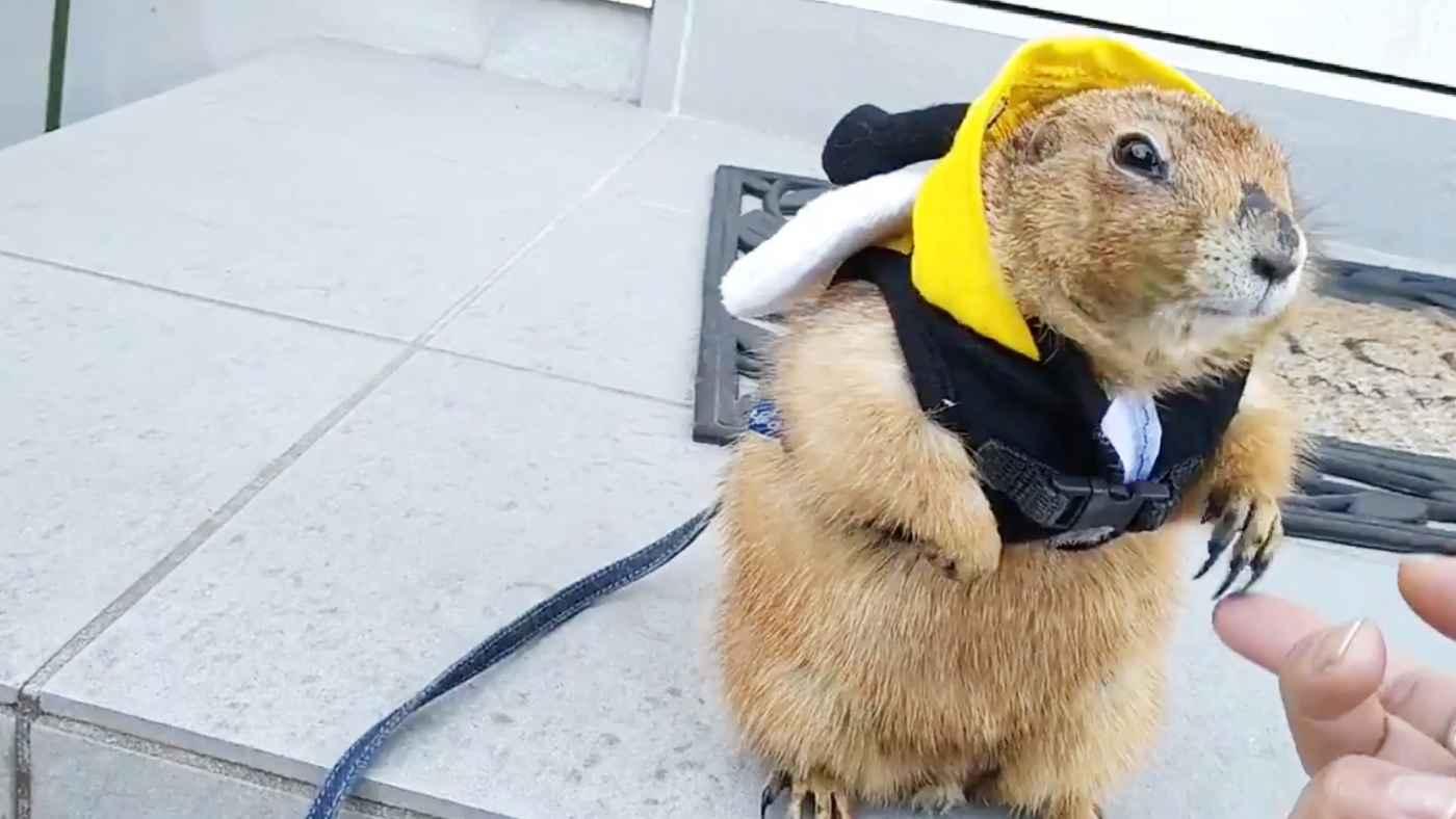 それまで外に出たがっていたのに、あまりの寒さに後悔するプレーリードッグが可愛すぎると話題に!