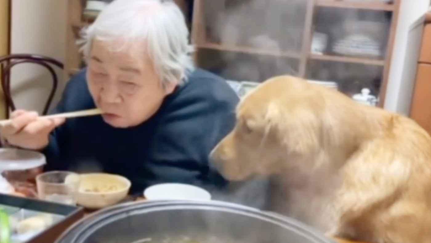 美味しそうにすき焼きを食べるおばあちゃんを見て我慢できなくなったゴールデンレトリバーの行動に家族大爆笑!