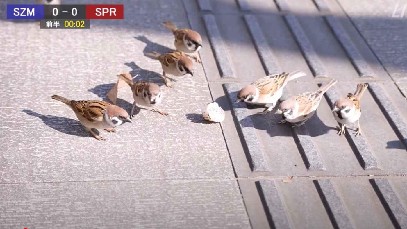 【日本】公園のスズメがサッカーをしていたので、実況をつけてみた動画が面白いと話題に!