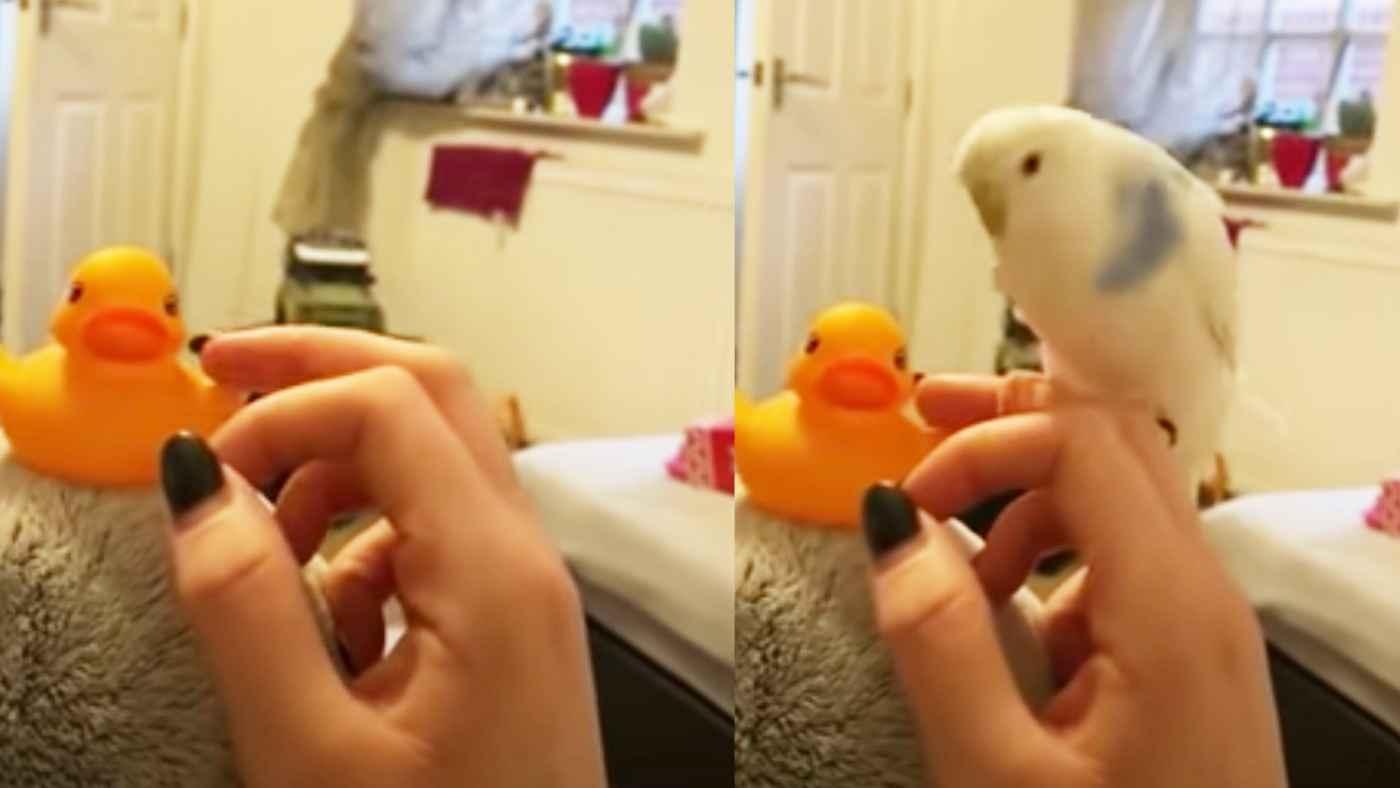 おもちゃの鳥で遊んでいたら、本物の鳥が嫉妬してとんでもない行動に出た!