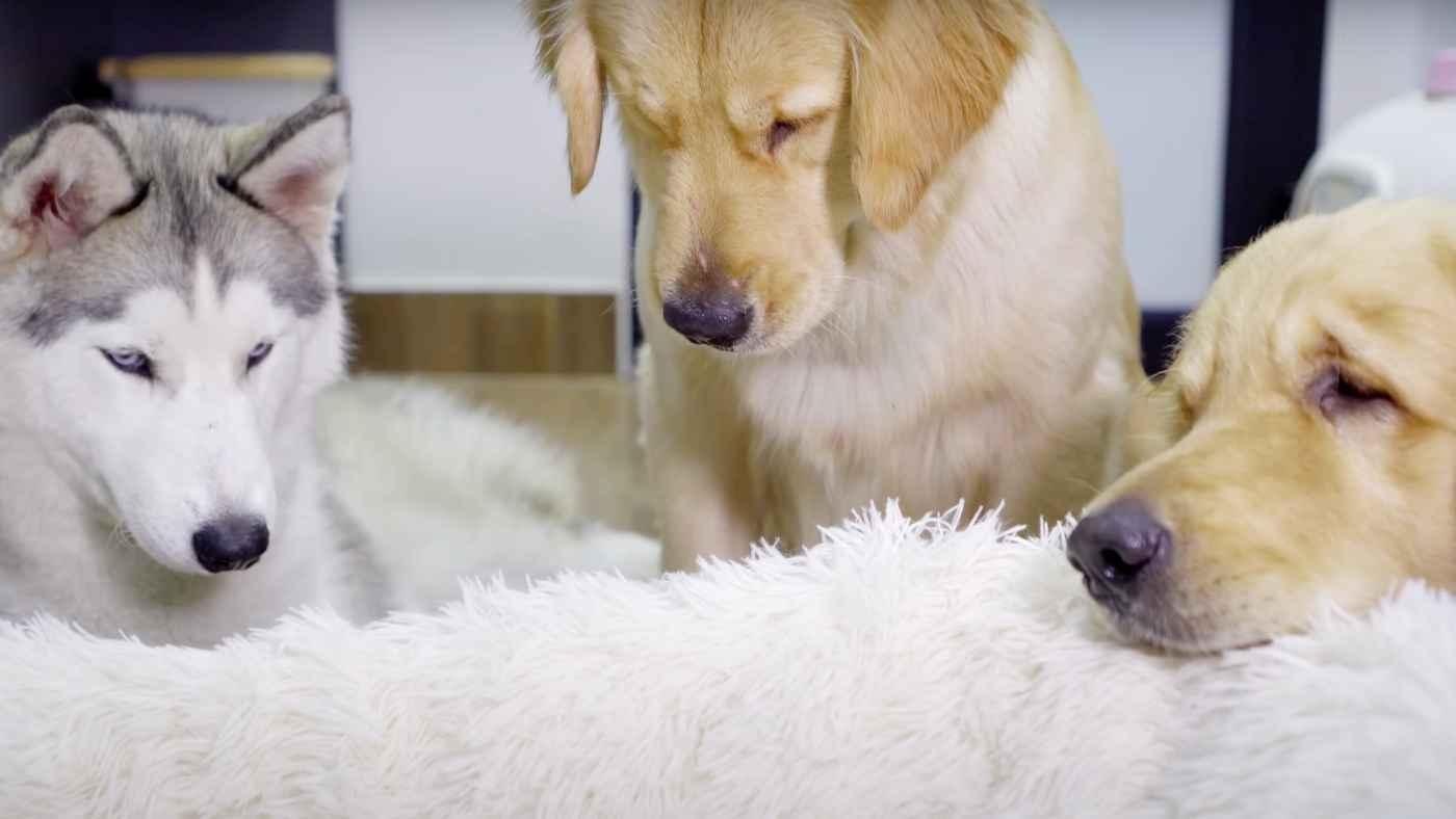 初めて赤ちゃん猫に会ったハスキー犬とゴールデンレトリバーたちの反応に癒される!