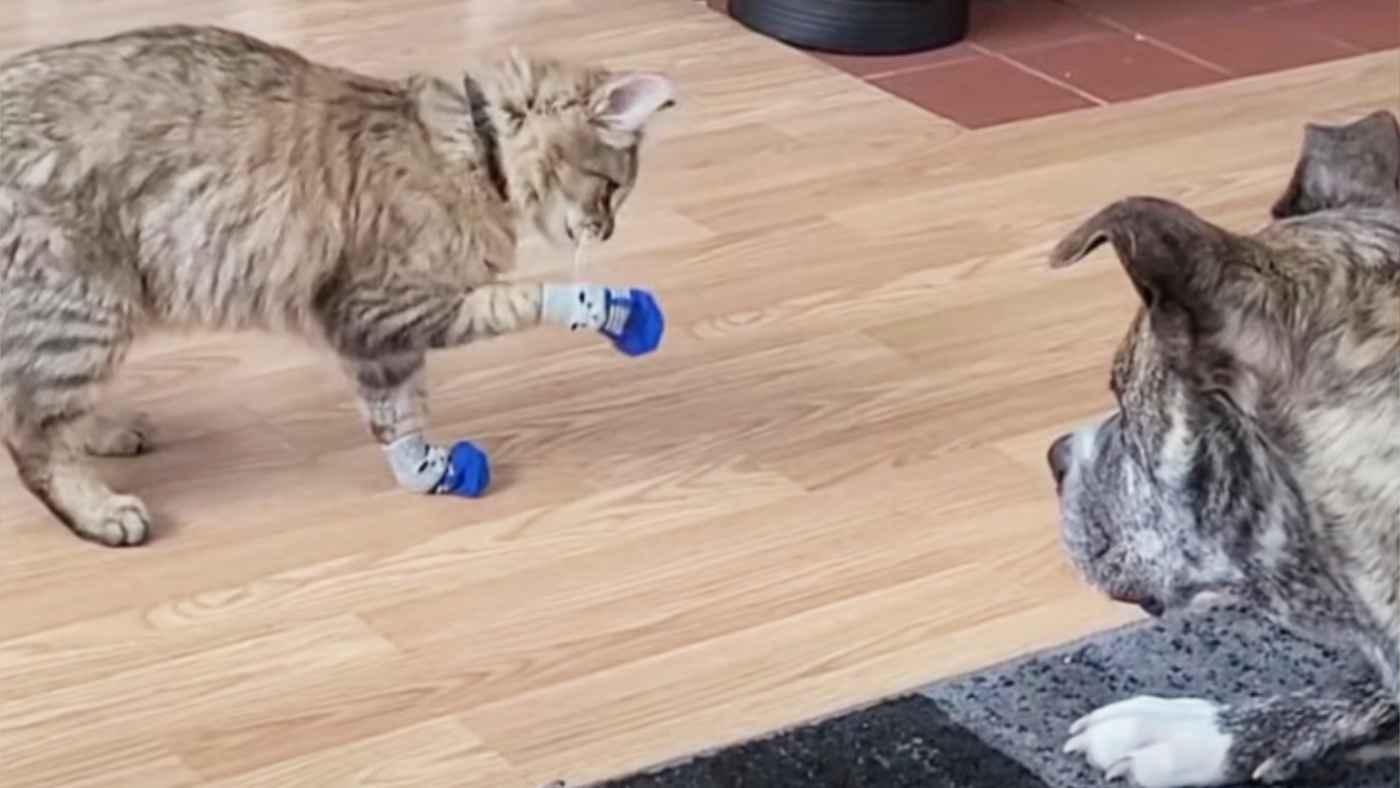 歩きにくい靴下を履いて困っている猫を助ける大型犬がイケメンすぎると話題に!