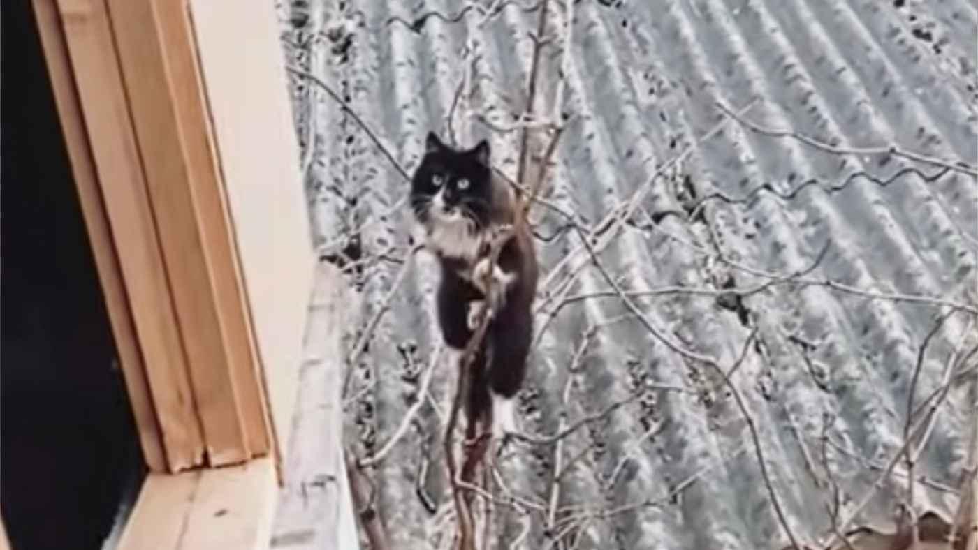 まるで「SASUKE」!毎日難関すぎるルートで家に帰ってくるフリークライマーのような猫が話題に!