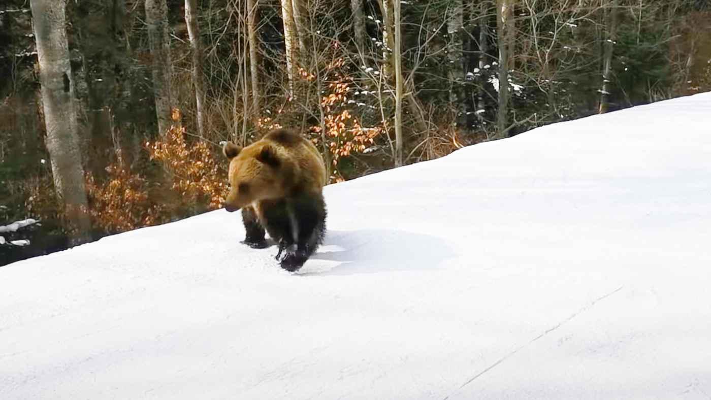 大きなクマにいつまでも猛スピードで追いかけられるスキーヤーの視点動画が怖すぎると話題に!
