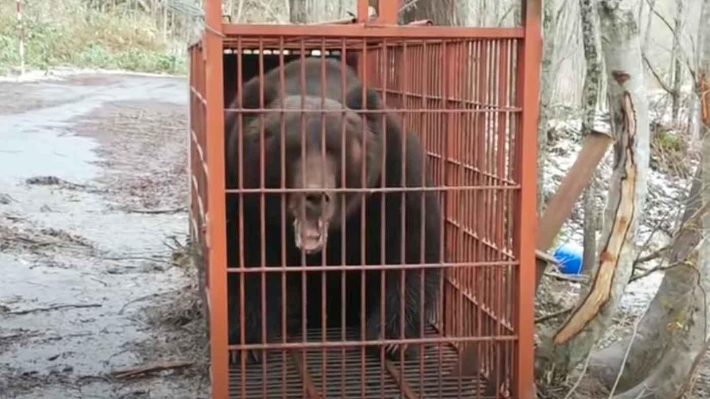 北海道で捕獲された巨大ヒグマの声が怖すぎる!