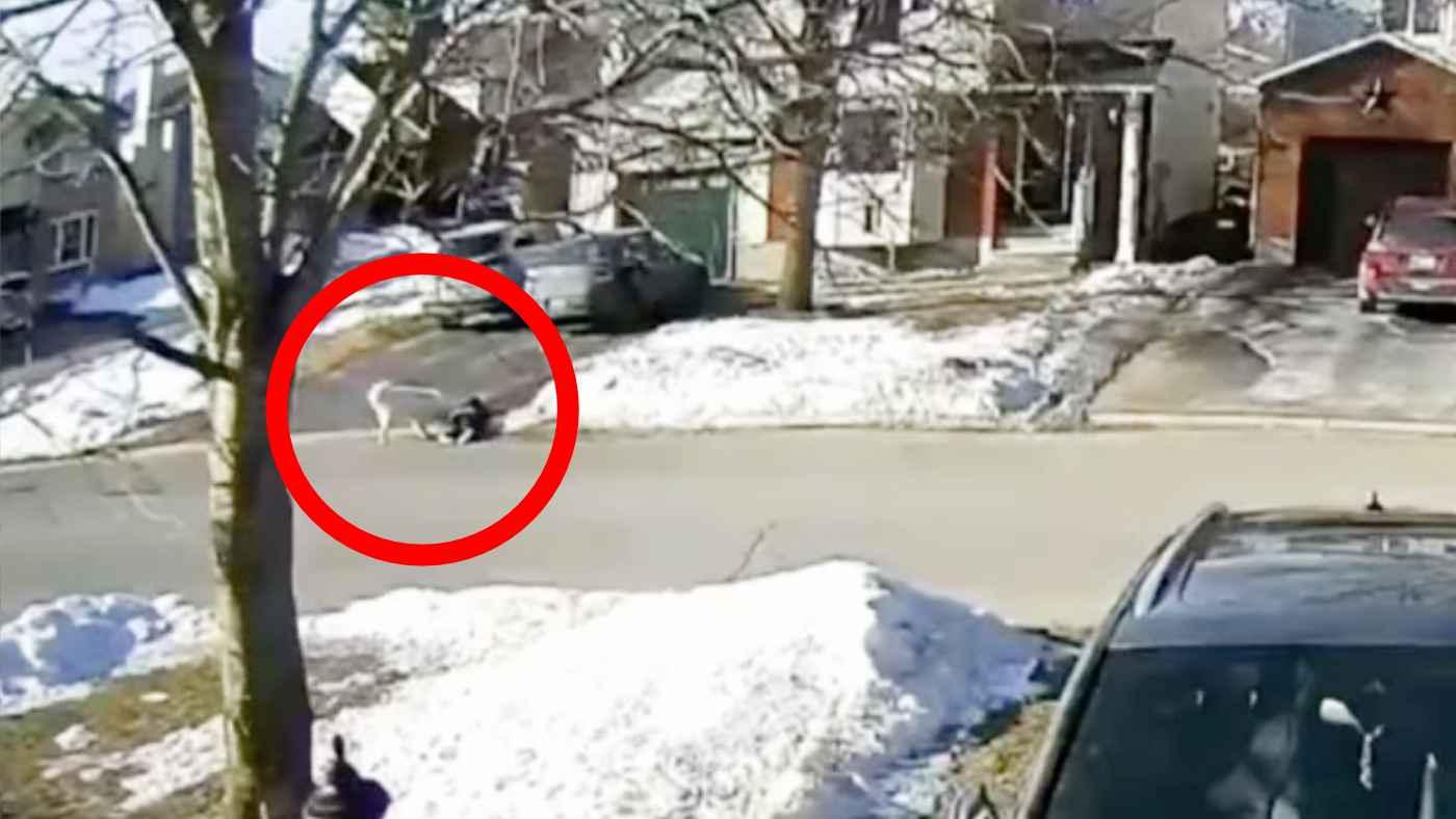 【神対応】突然路上に倒れ込んだ飼い主さん。賢すぎる機転で助けを求めた飼い犬の動画が世界中で話題に!