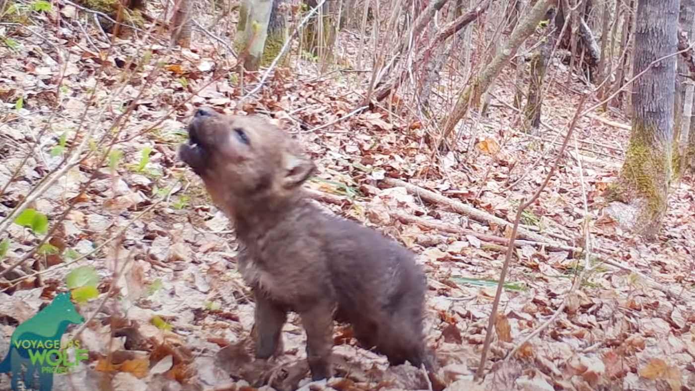 監視カメラに映った野生のオオカミの赤ちゃんの遠吠えの練習が可愛すぎると話題に!