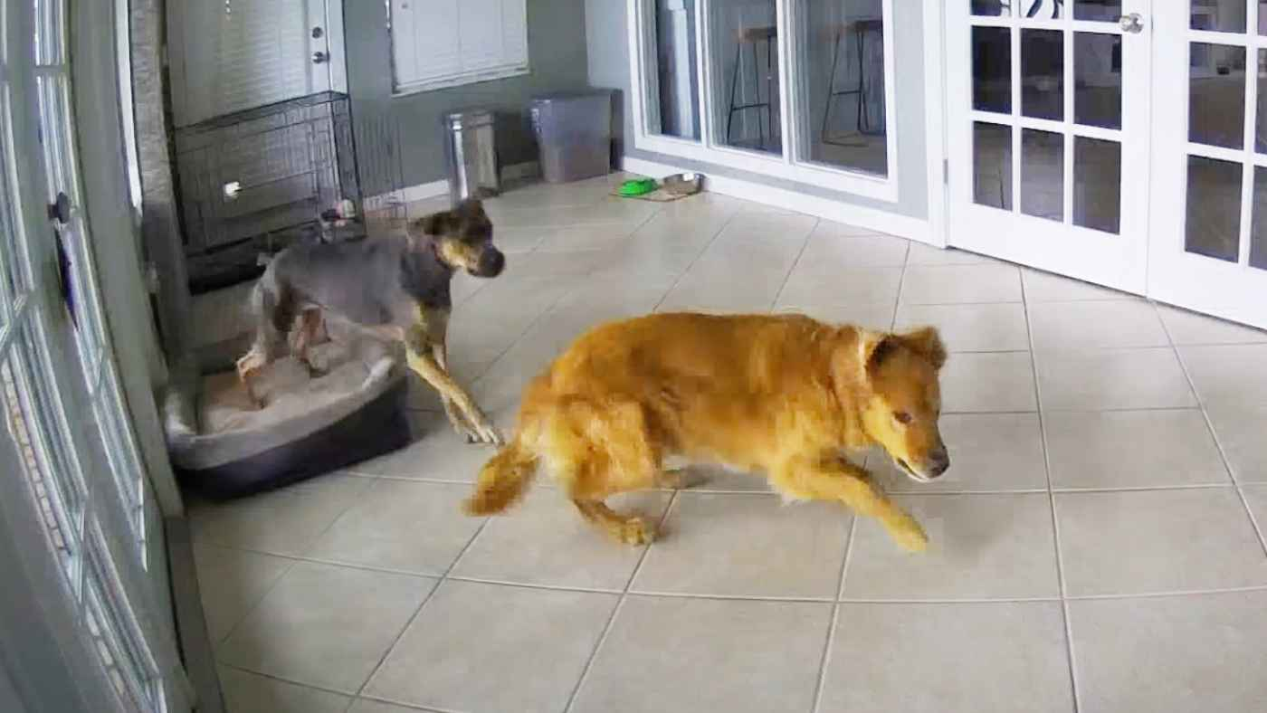「訓練していたわけじゃないのに」てんかん発作の犬を落ち着かせるために取った親友犬の行動が話題に!