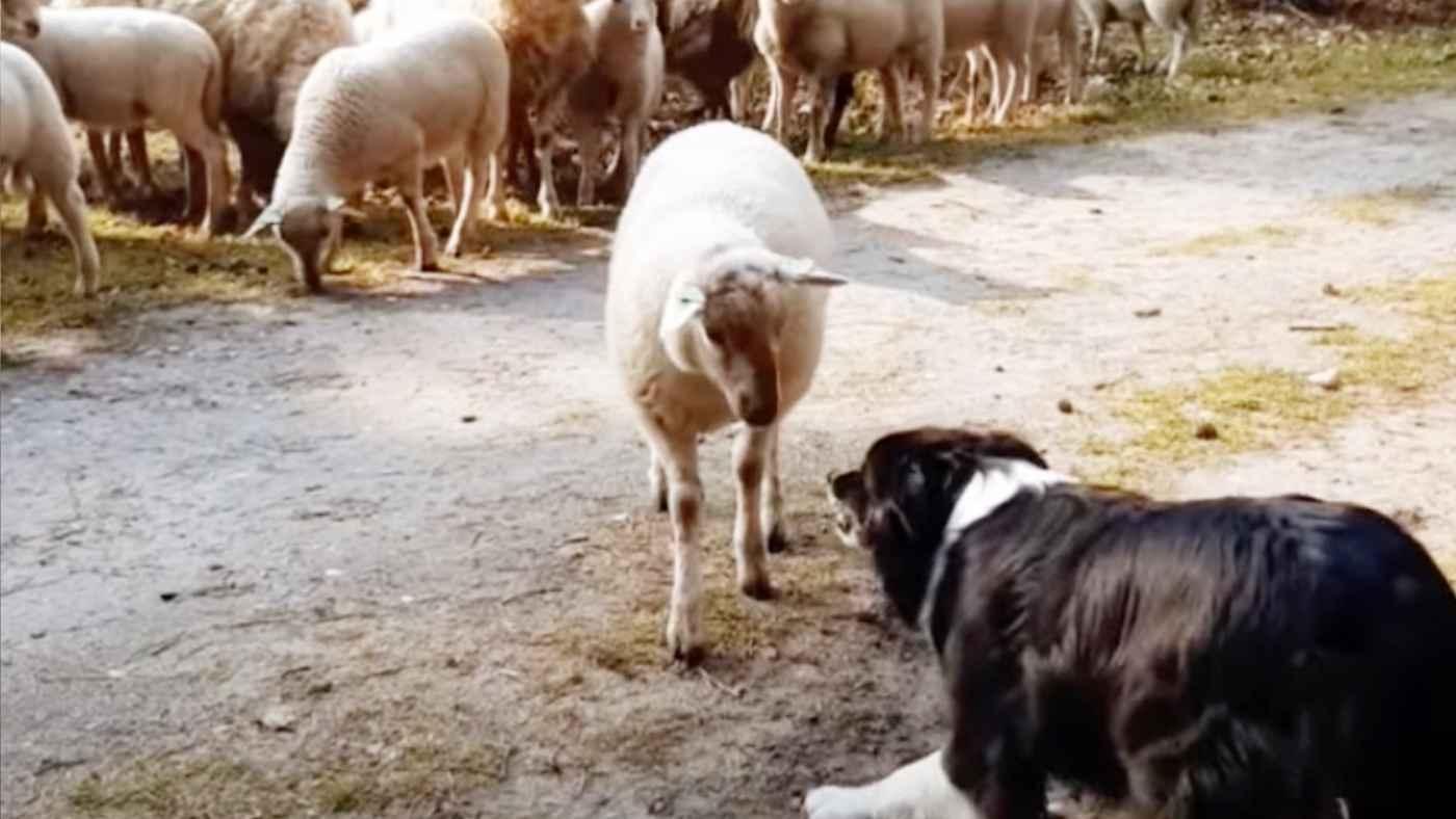 「俺は飼い慣らされない!」強い意志を持った一匹の羊の姿に感銘を受ける人が続出!