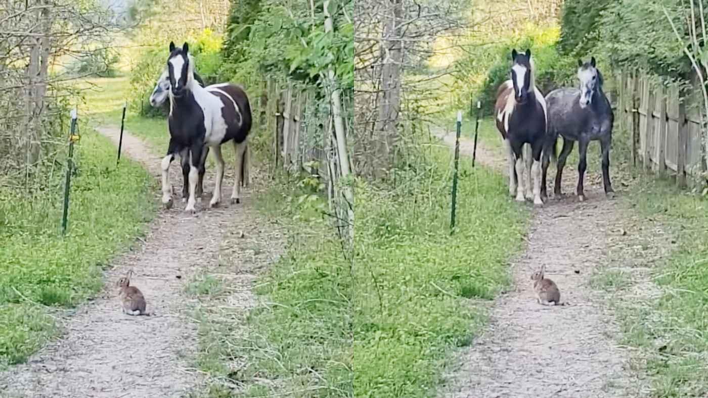 「ど、どうしよう。。」道の真ん中に居座るウサギを見た馬たちの行動が可愛すぎると話題に!