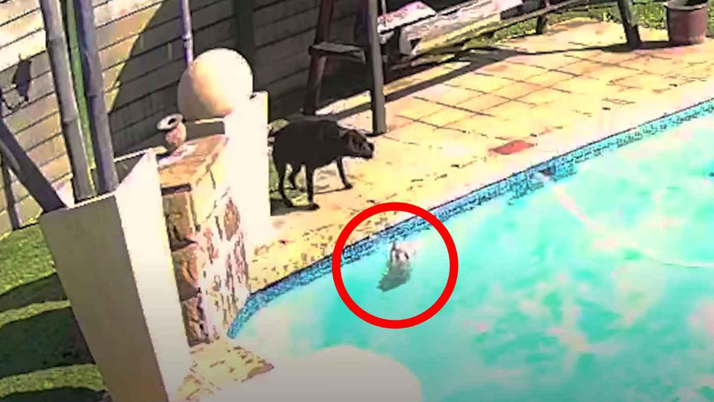 プールに落ちてしまった小型犬。水が大の苦手なのに全力で助ける親友犬の姿に涙。その後の二匹の様子に心温まる!