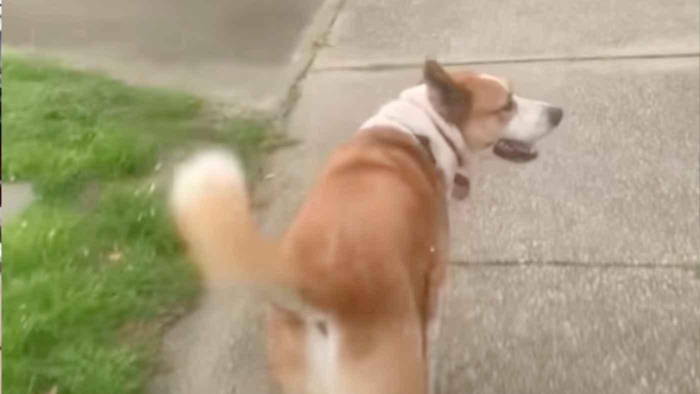 横断歩道を渡る犬の賢すぎる行動が話題に!交通ルールを完全に理解している!