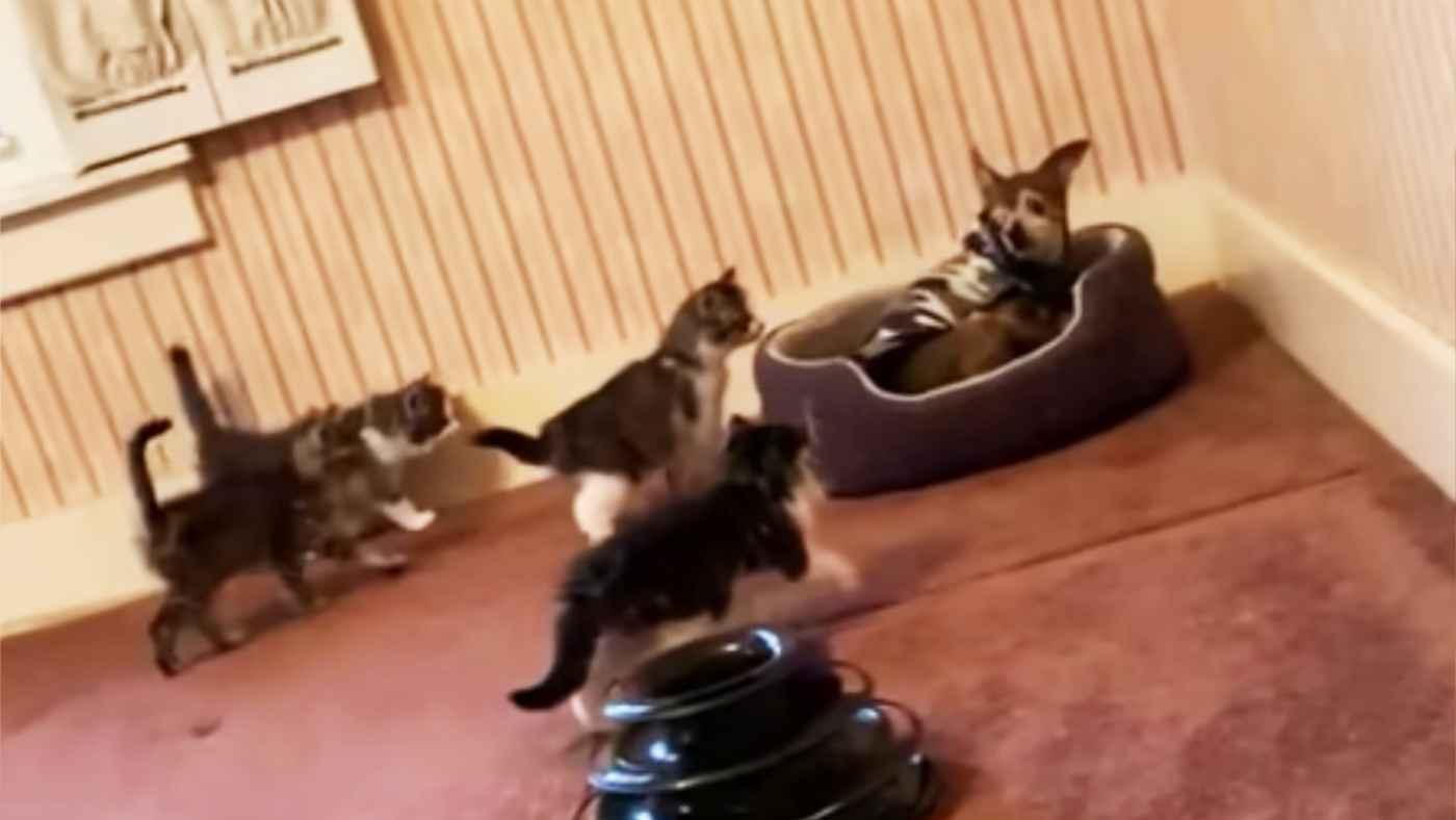 好奇心旺盛な保護子猫たちに圧倒される犬!「まるでジュラシックパークのワンシーンのよう」