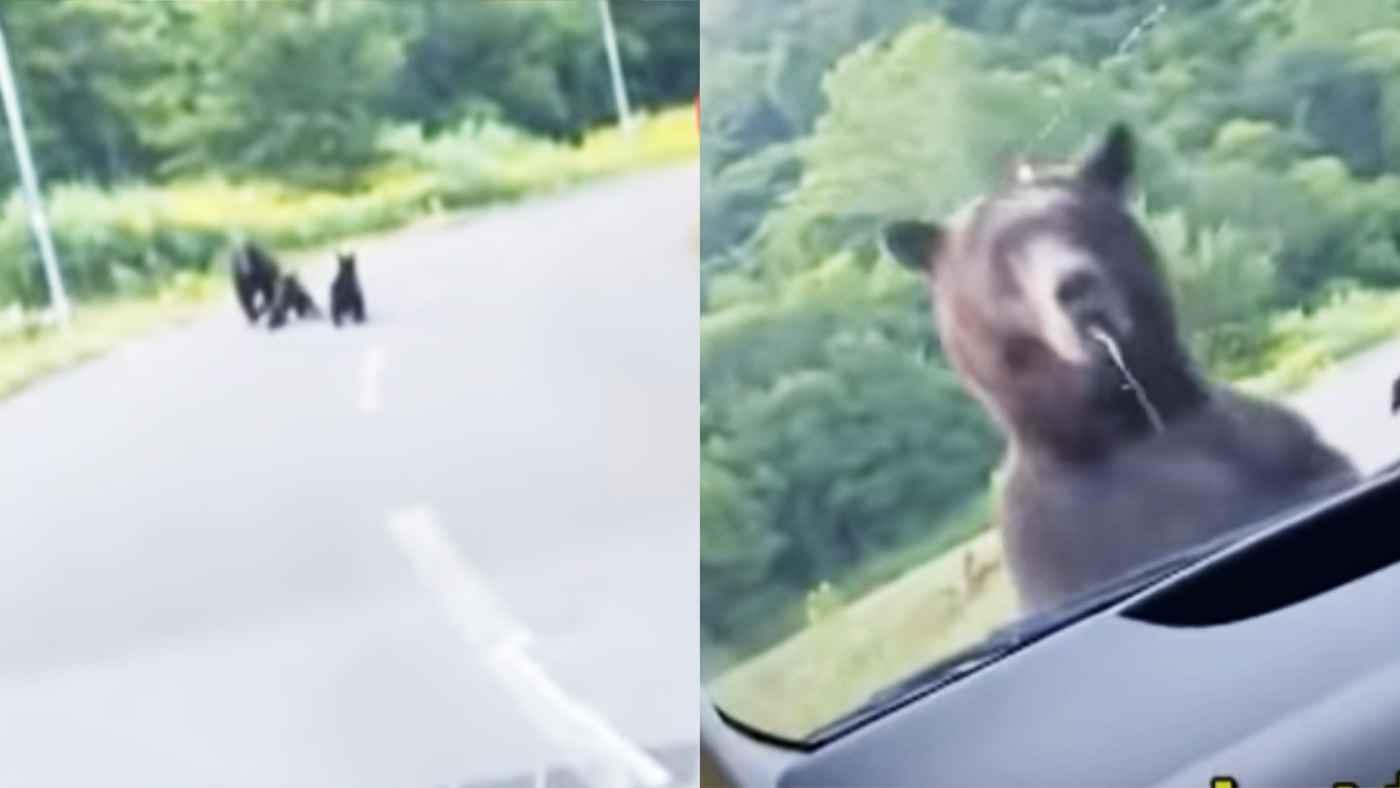 【北海道】路上で熊の親子に遭遇、子熊を守ろうとして母熊が車に体当たり!走る速度がヤバい!