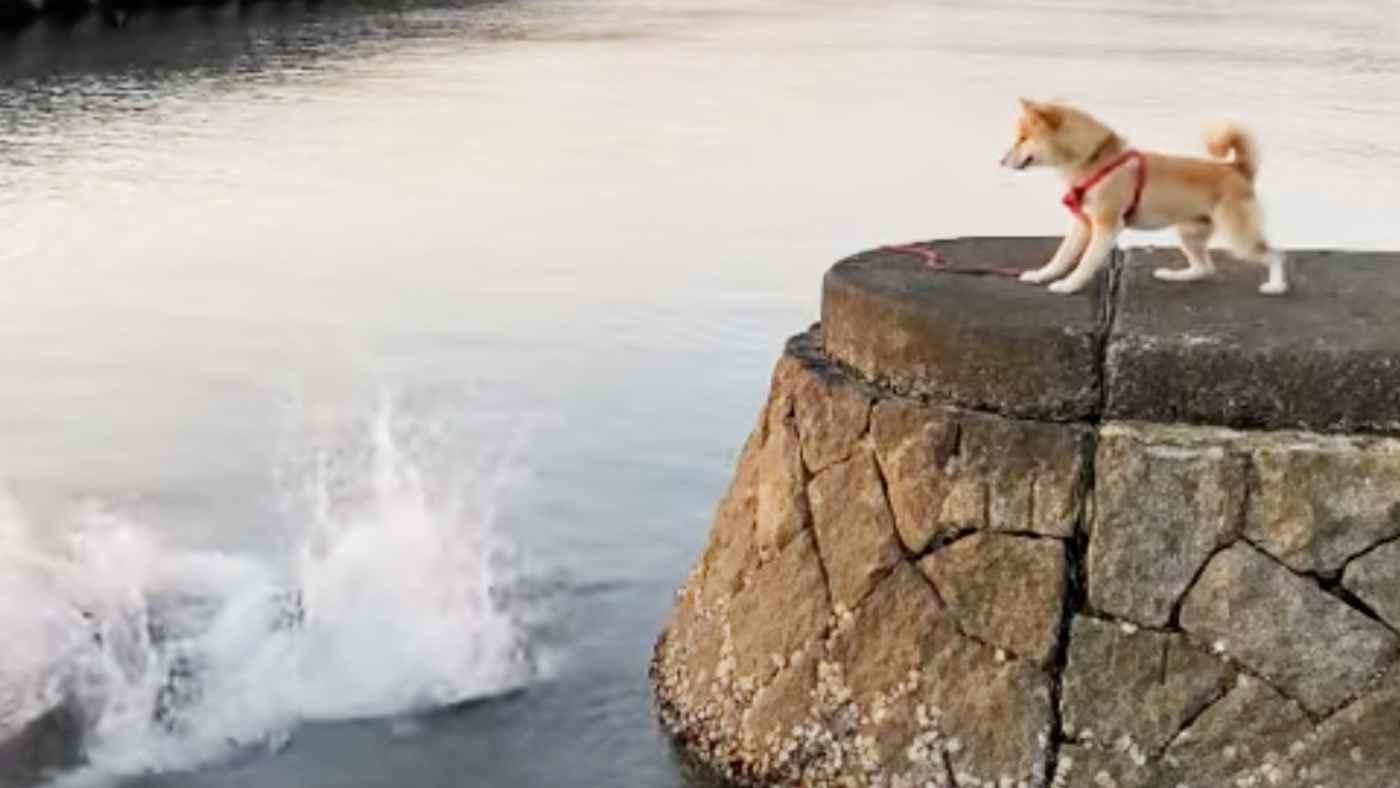 【実験】飼い主さんが海に落ちたらどうするのか。柴犬の行動に爆笑したと話題に!