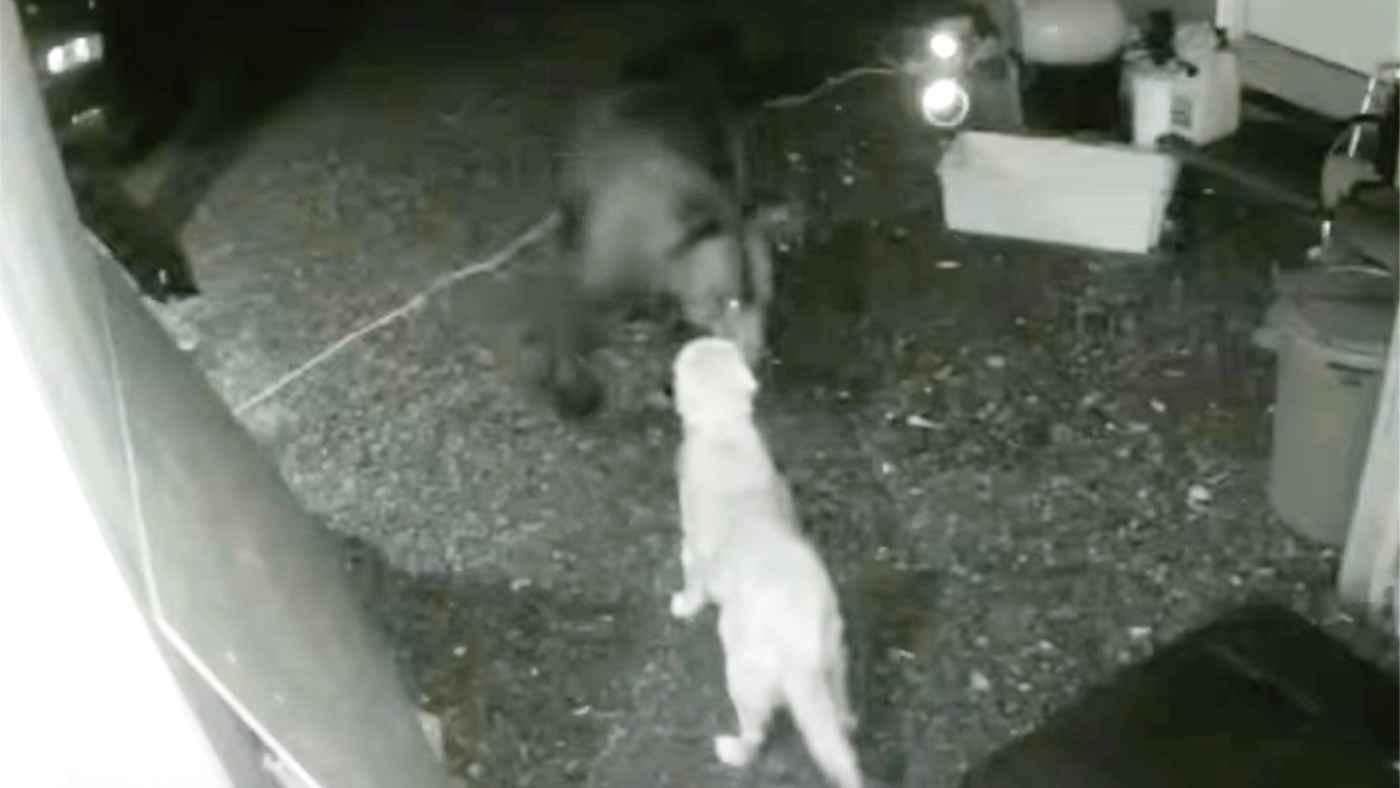 大きなヒグマと対峙したゴールデンレトリバーの勇敢な行動が話題に!