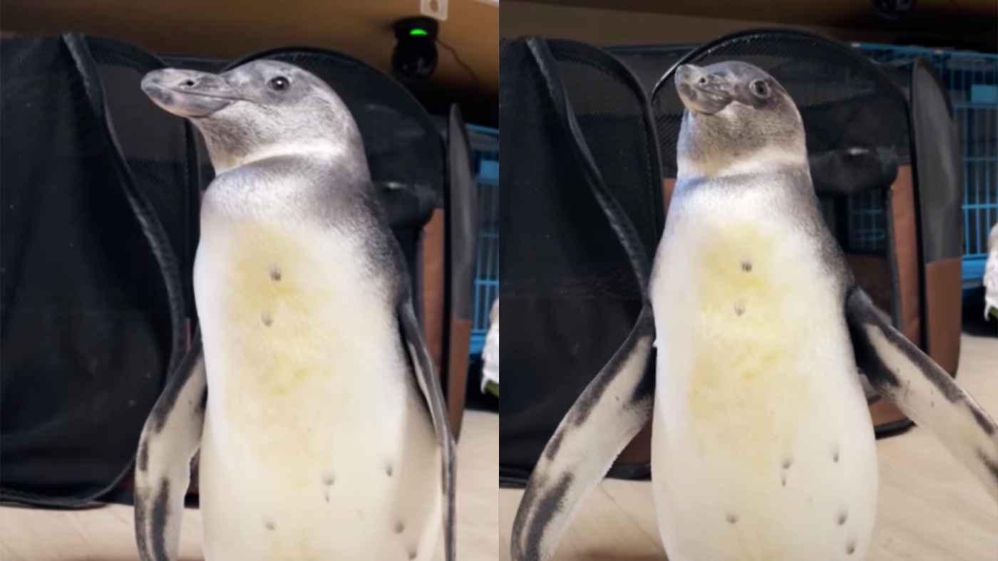 「風船!」と言うと、めちゃめちゃ膨らむペンギンが可愛すぎると話題に!