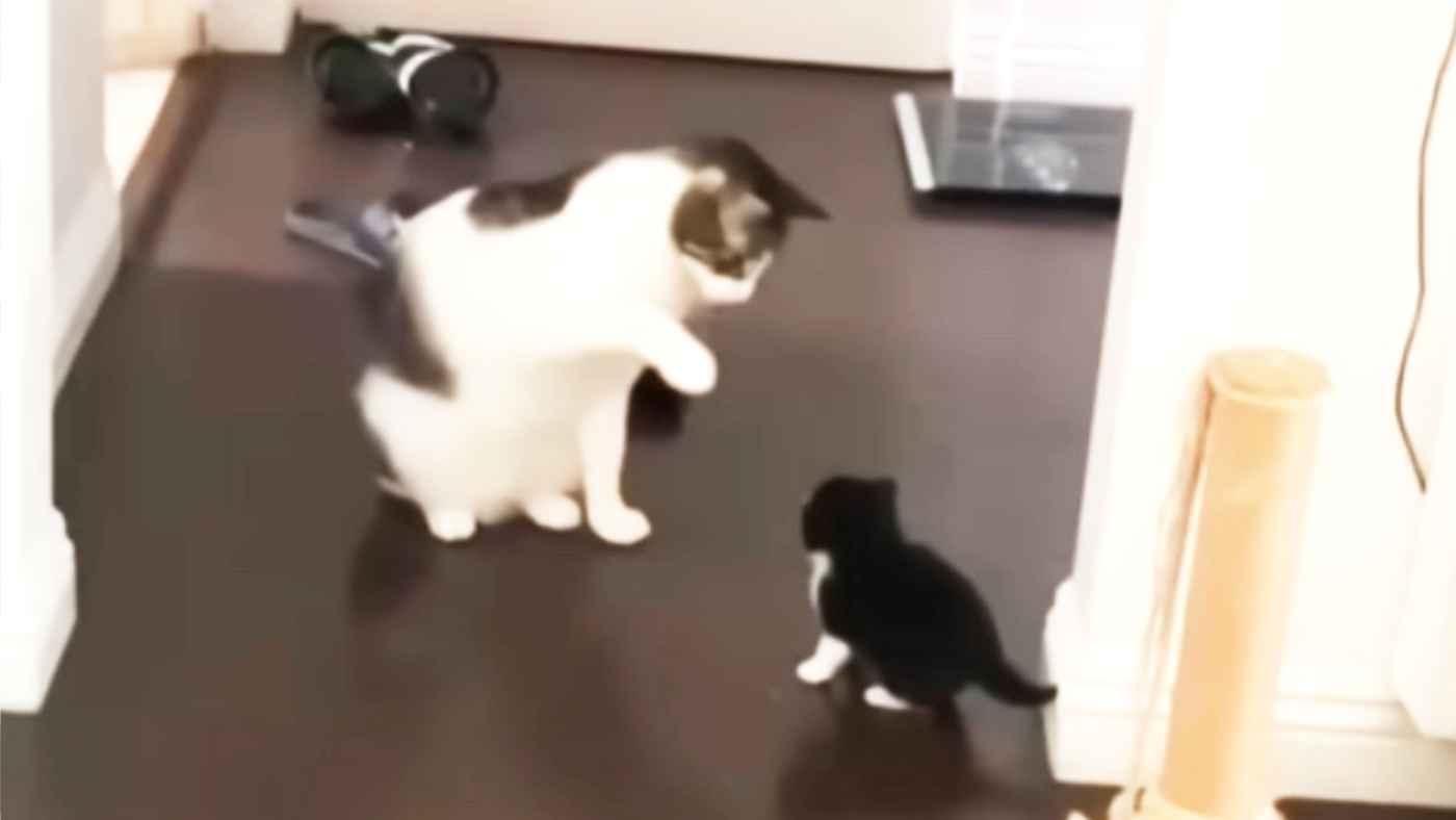 先輩猫に「猫パンチ」のやり方を優しく教えてもらった子猫。1年後、今度は新米猫に優しく「猫パンチ」を教えてあげる姿が話題に!