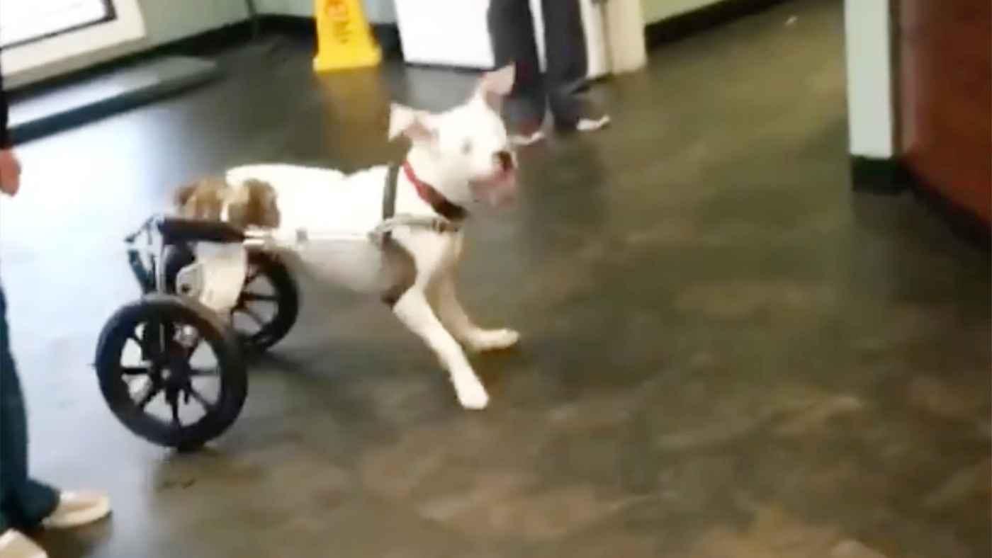 後ろ足が不自由な犬が、車椅子で初めて自由に走れるようになった日の動画が話題に!
