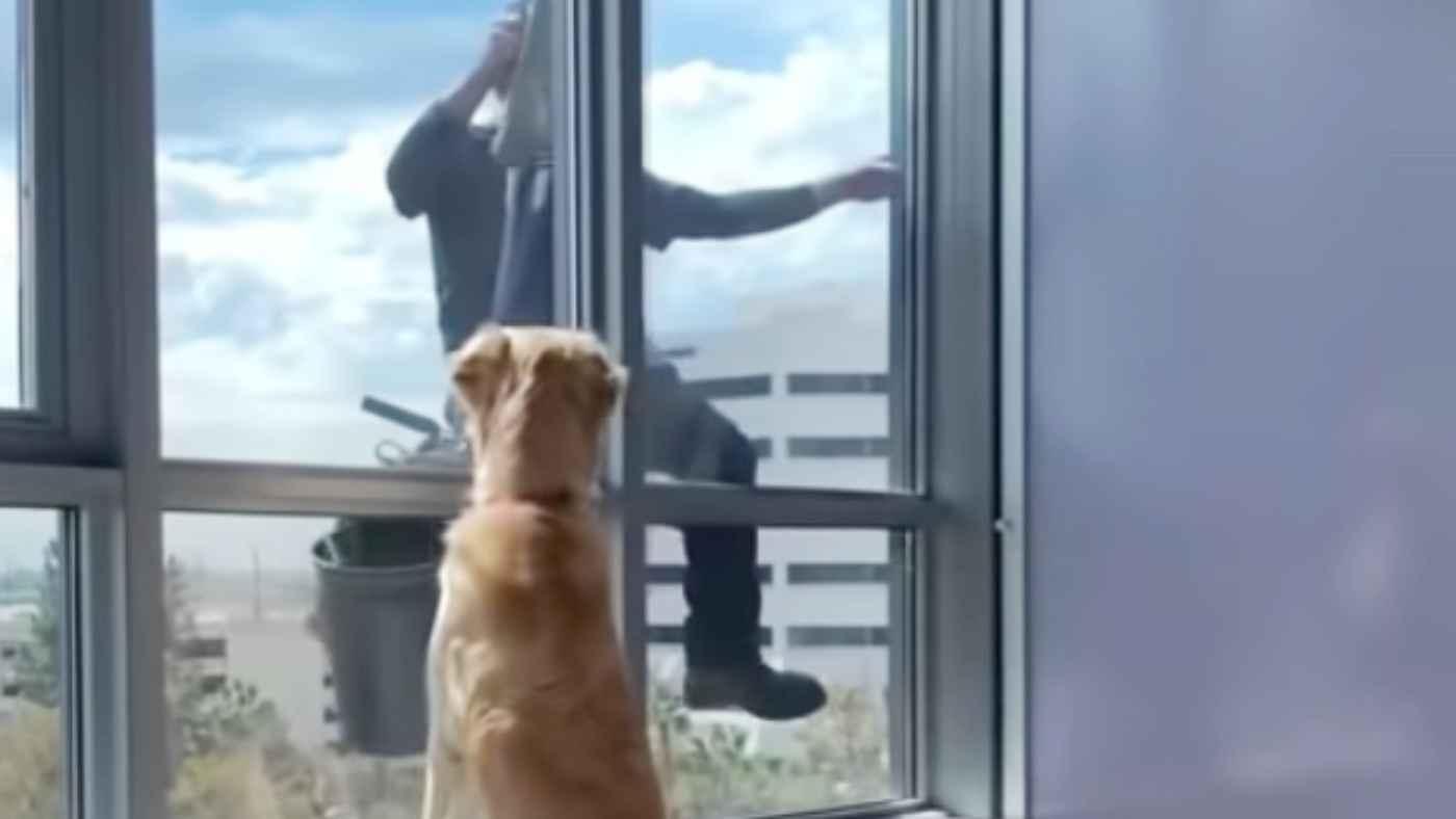 窓の清掃員さんと友達になろうとしたゴールデンレトリバーの行動が可愛いと話題に!後日談も素敵!