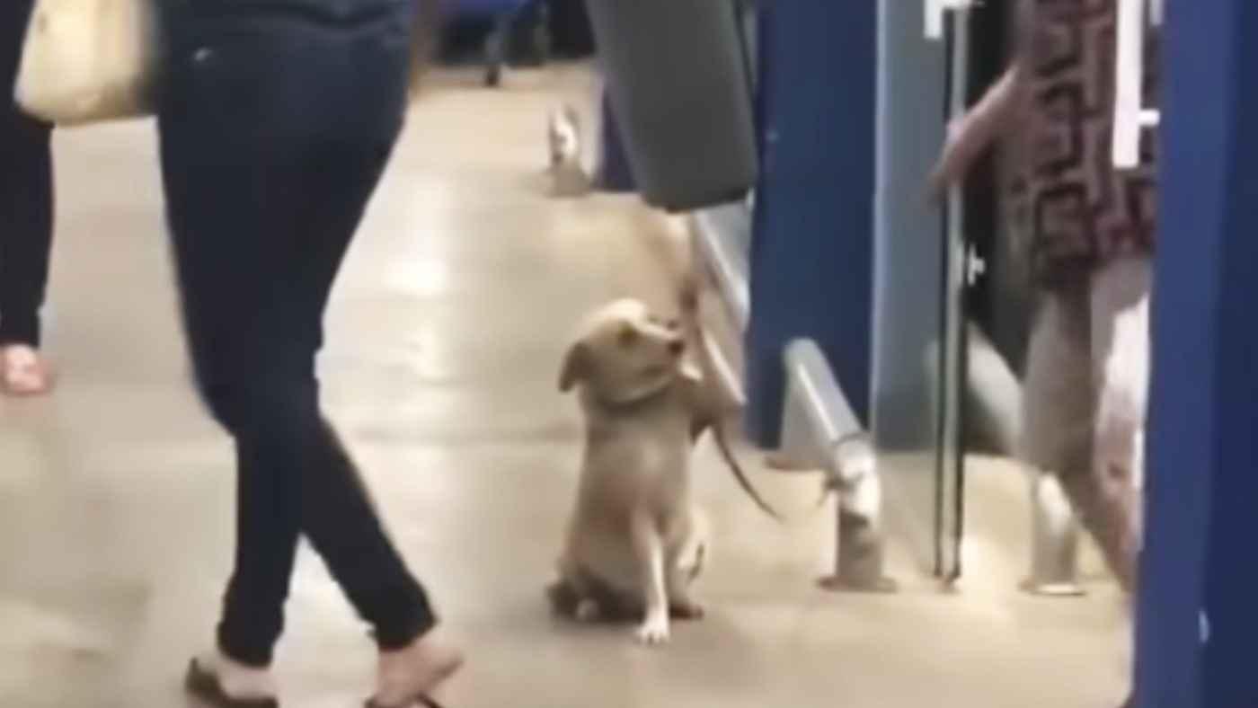 辛い過去を乗り越え、スーパーから帰る客に手を振り一人一人お見送りする犬が話題に!