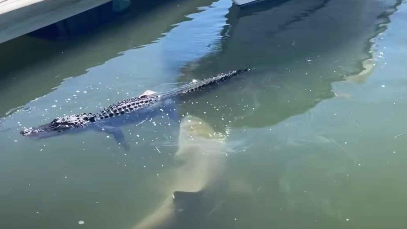 ワニとサメ、最強の生き物同士が出会ってしまった動画が話題に!